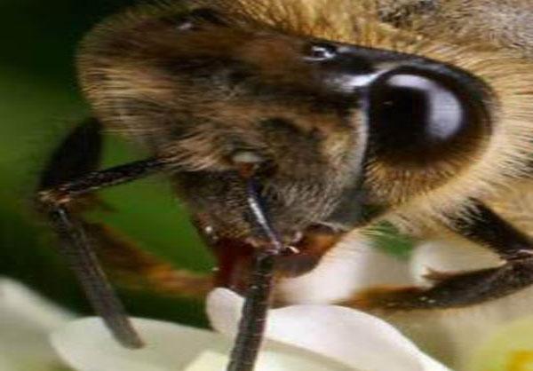 مغز زنبور سریعتر از تمام رایانه های جهان