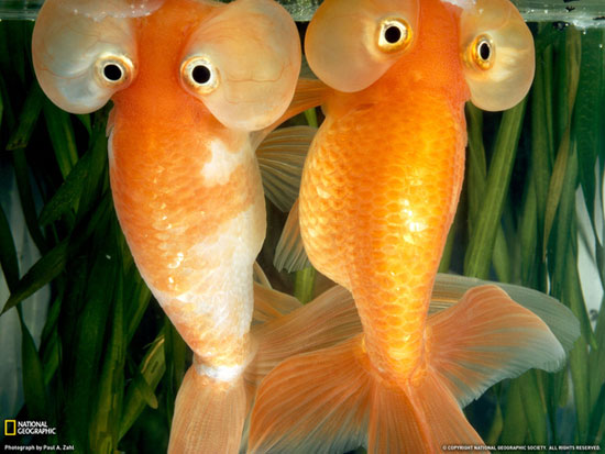 تصاویر دیدنی از ماهی چشم حبابی زیبا