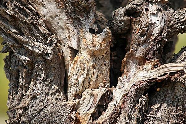 تصاویر زیبا از استتار جغد