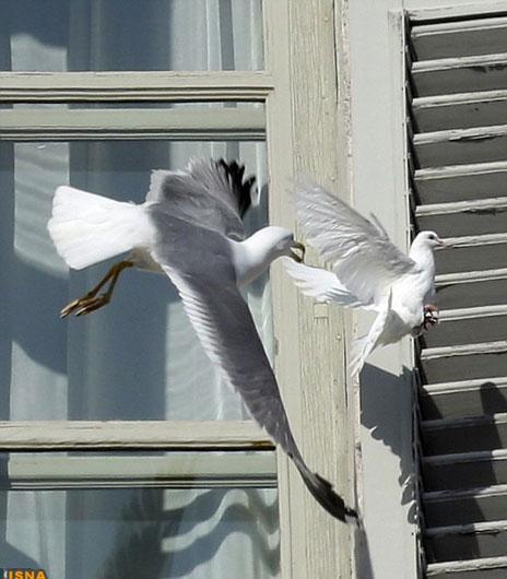 پرنده صلح پاپ خورده شد + عکس