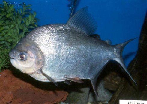 عکس ماهی پیرانای سیاه با ارواره های ترسناک!