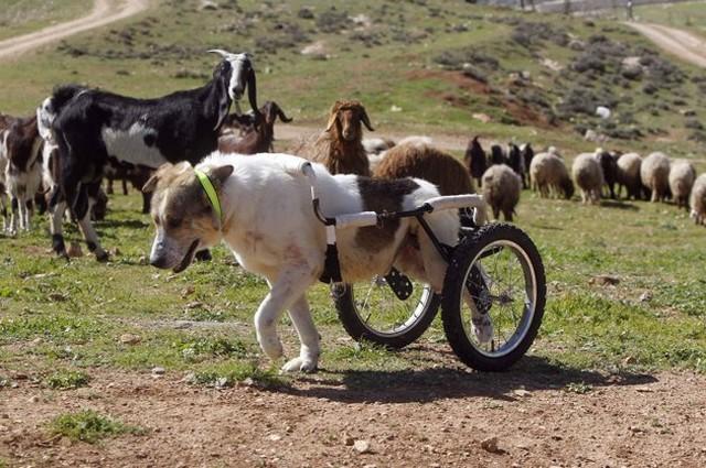 عکس جالب از سگ ویلچری نگهبان گله