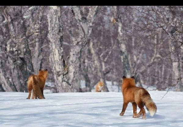 عکس روباه