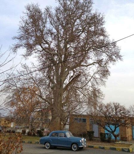 کهنسال ترین درخت چنار دنیا در ایران + عکس