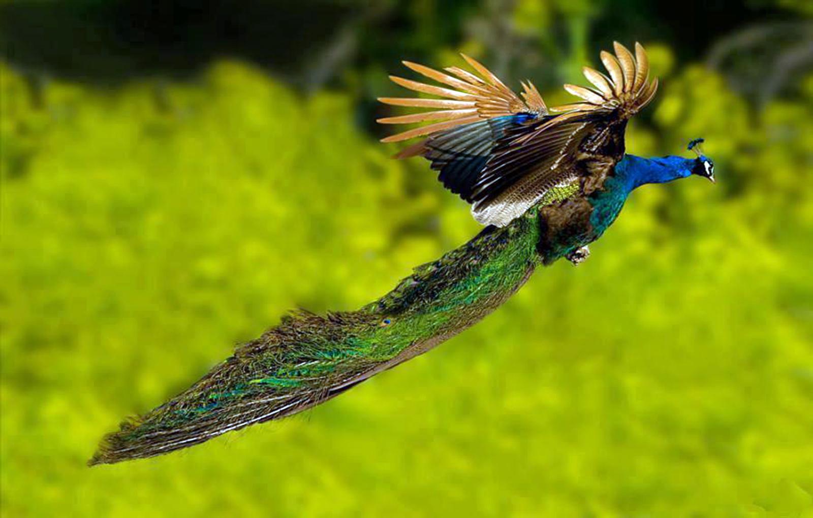 تصاویر جالب و دیدنی از پرواز کردن طاووس های زیبا