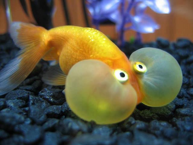 عکسی از یک ماهی چشم بادکنکی