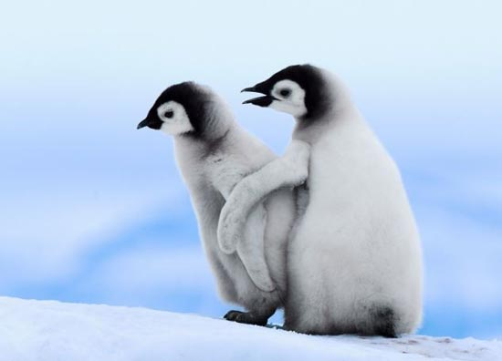 آموزش راه رفتن به بچه پنگوئن بامزه +تصاویر