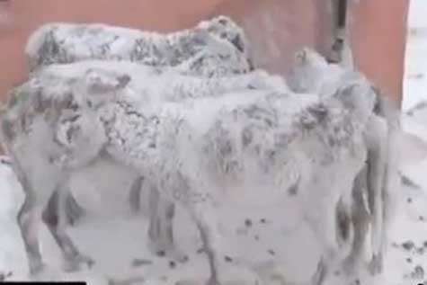الاغ هایی که ایستاده یخ زدند! /تصاویر