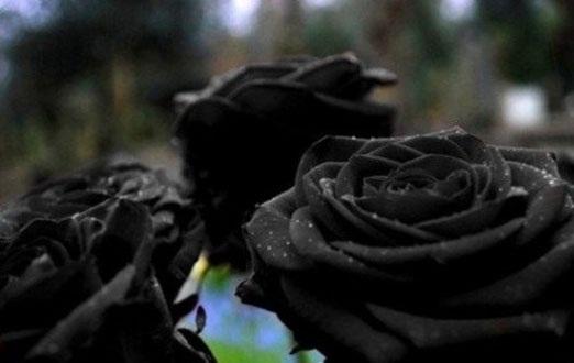 کمیاب ترین گل رز جهان +عکس