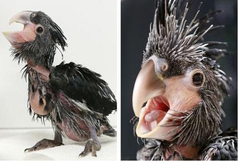 زشتترین طوطی جهان /تصاویر