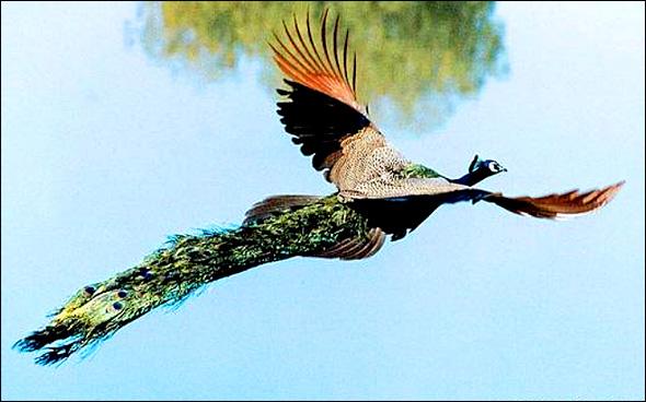 آیا تاکنون پرواز طاووس را دیده اید؟