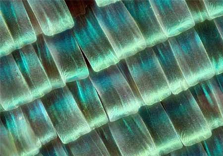 تصاویر زیبای میکروسکوپی از بال پروانه ها