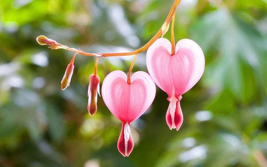 گل فوق العاده زیبا به نام خونریز قلب +تصاویر
