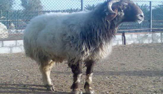 این گوسفند گران تر از پورشه فروخته شد! +عکس