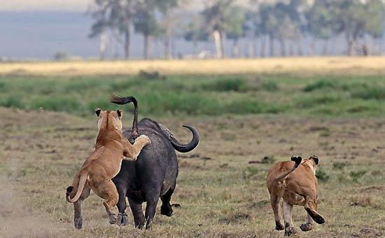 زنده ماندن پس از ورود به قلمرو شیرها! +تصاویر