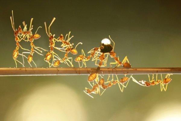 مورچه ها در حال حمل کردن یک قطره آب /عکس