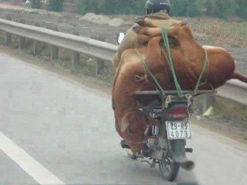 عکس جالب و دیدنی از حمل گاو با موتور!