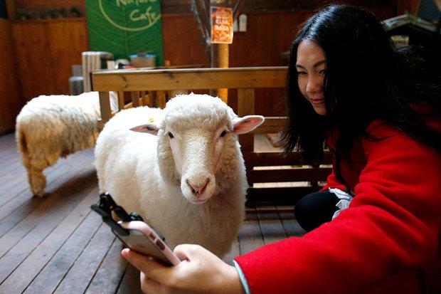 ژست بامزه یک گوسفند برای گرفتن عکس سلفی!