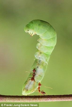 تصاویر جالب و دیدنی از یک مورچه قدرتمند!