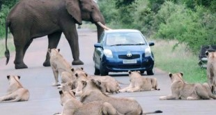 Motorist Sandwiched Between Lions And Elephant