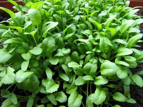 باز شدن رگ های قلب با این گیاه!