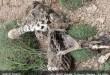 عکس / دهمین پلنگ ایرانی هم مرد !