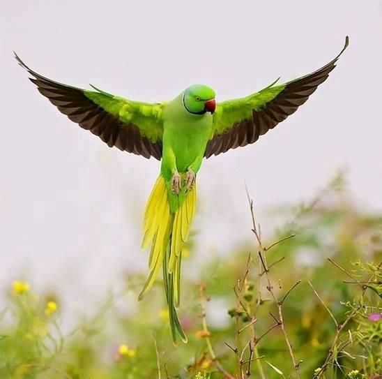 زیباترین طوطی جهان / عکس
