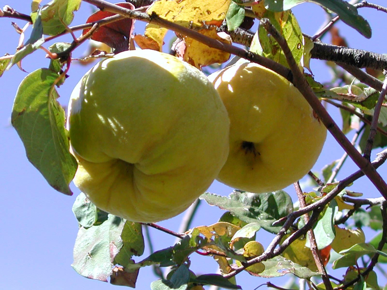 خواص فوق العاده میوه به و دانه اش