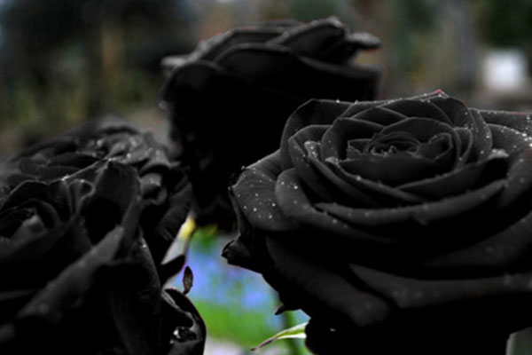 گل رز سیاه / عکس