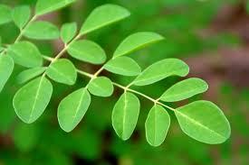 درختی شفابخش در هندوستان کشف شد + عکس