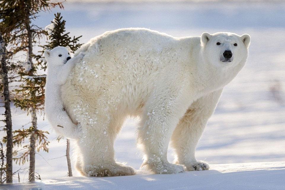 استقامت دیدنی خرس قطبی چین در استخر یخ +عکس