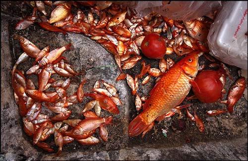 چرا ماهی قرمز عید زود می میرند + چه کار کنیم نمی رند