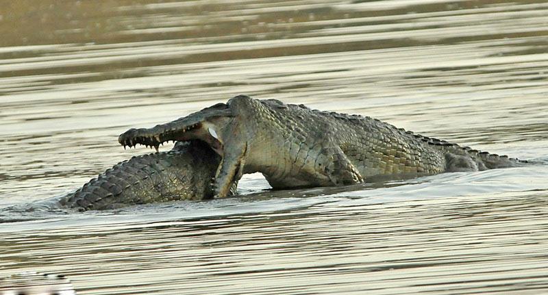 جدال بین دو تمساح + عکس