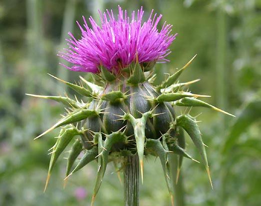 با این گیاه کبدتان را بیمه کنید