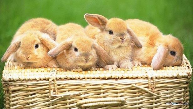 قصه کودکانه چهار خرگوش کوچولو