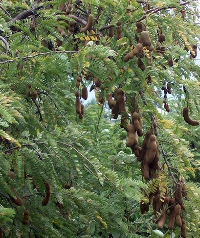 آیا تا به حال درخت تمر هندی دیده اید؟ + عکس