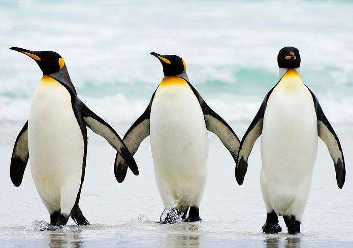 چرا پنگوئن در محیط های خیلی سرد یخ نمی زند؟