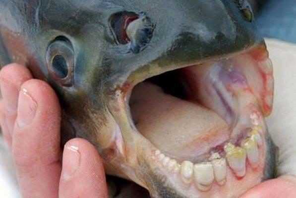 ماهی عجیبی که دندانهایی شبیه انسان دارد! + عکس