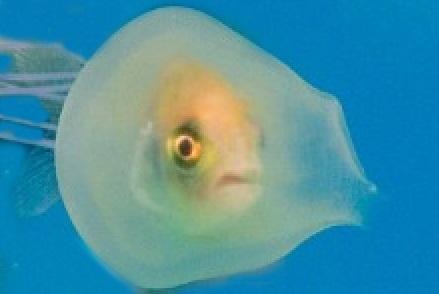 ماهی بدشانسی که در شکم عروس دریایی گیر افتاد! + تصاویر