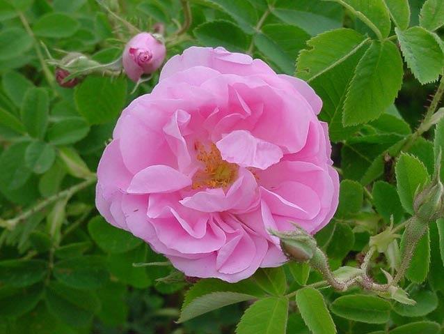 خاصیت بی نظیر این گل برای تقویت اعصاب و قلب و آرامبخش