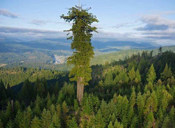 بلندترین درخت روی زمین + عکس