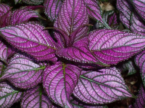 روش نگهداری و پرورش گیاه سپر فارسی