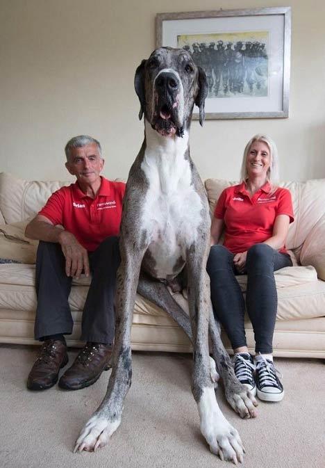 بزرگترین سگ جهان + عکس