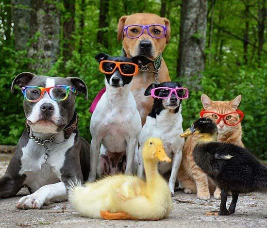 دوست شدن سگ، گربه و اردک با یکدیگر + تصاویر