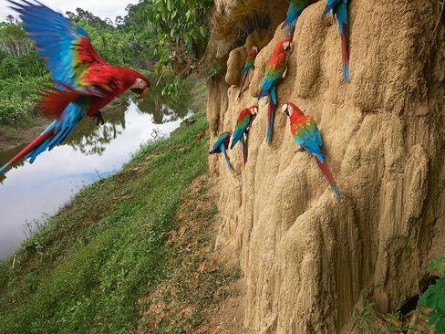 جایگاه طوطی ها در پارک ملی پرو