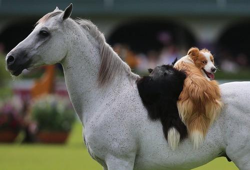 سواری گرفتن سگ ها از اسب در نمایشگاه اسب دوبلین