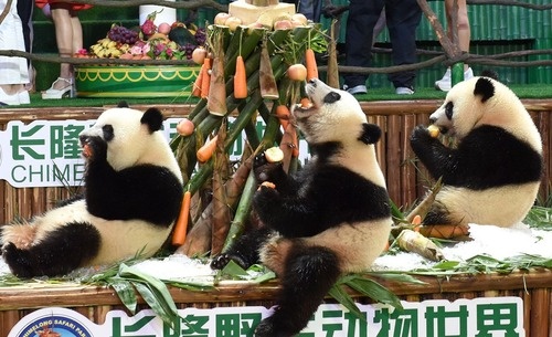 جشن تولد برای پانداهای یک مرکز نگهداری پاندا در گوآنگژو چین