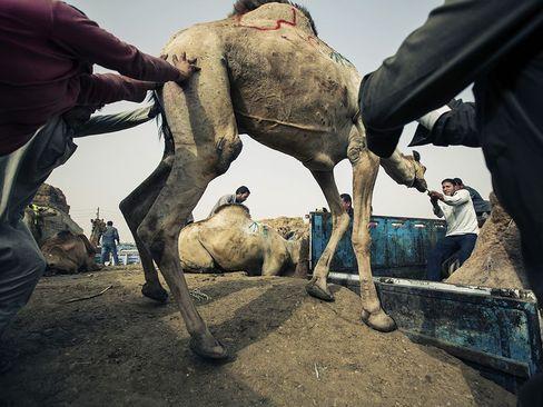 بازار خرید و فروش شتر در قاهره
