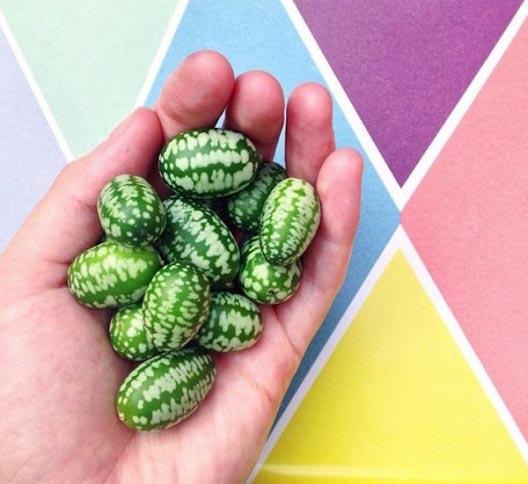محصول جالب ترکیبی از هندوانه و خیار + تصاویر