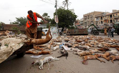 کشتن سگ های ولگرد از طریق خوراندن سم به آنها در کراچی پاکستان